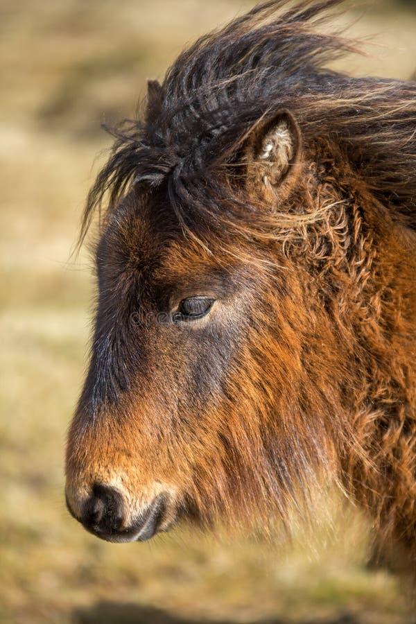 在博德明的富感情的野生小马停泊,康沃尔郡 免版税库存照片