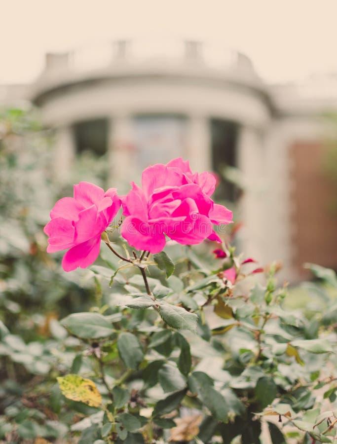 在博物馆前面的玫瑰 免版税库存图片