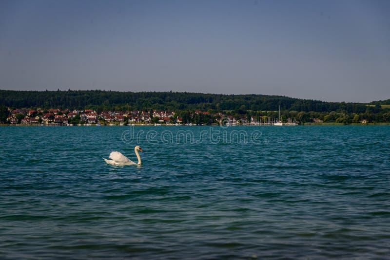 在博登湖的唯一天鹅在绿色岸前面 免版税库存图片