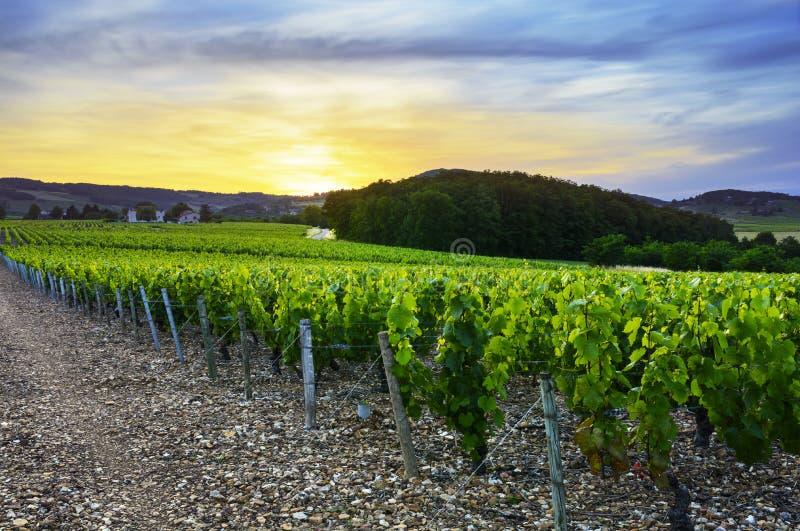 在博若莱红葡萄酒,罗讷,法国葡萄园的日落  图库摄影