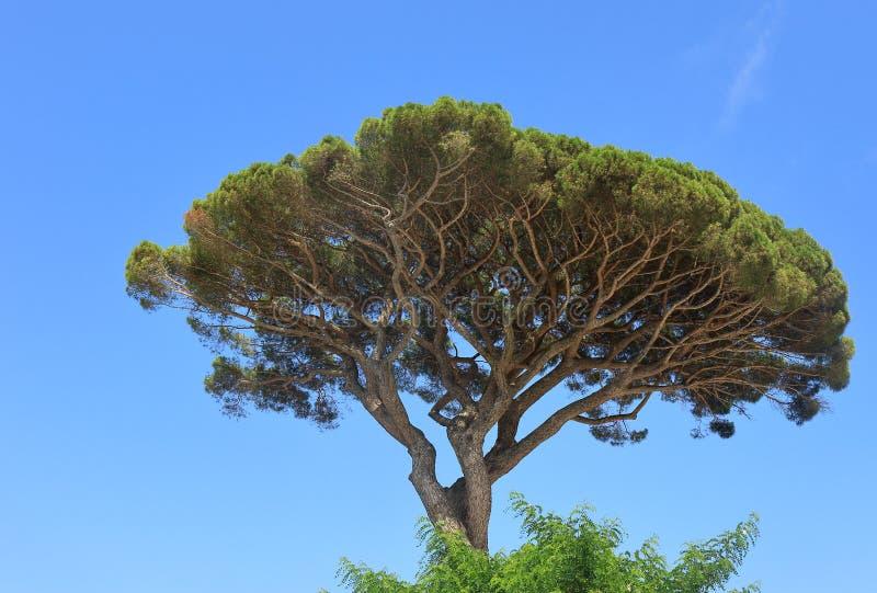 在卡普里岛小岛的石松  免版税库存照片