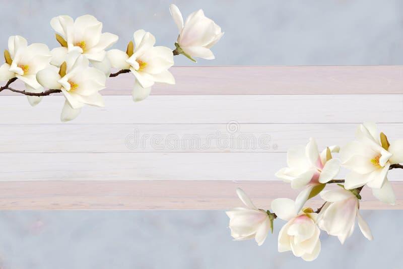 在卡片的纸背景隔绝的美丽的开花的木兰花 图库摄影
