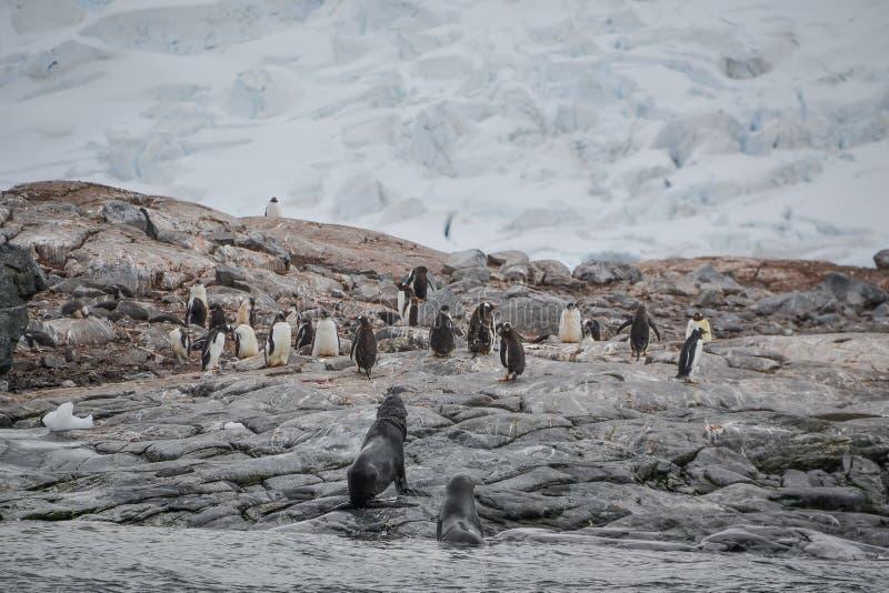 在卫兵和逃命的企鹅 库存照片