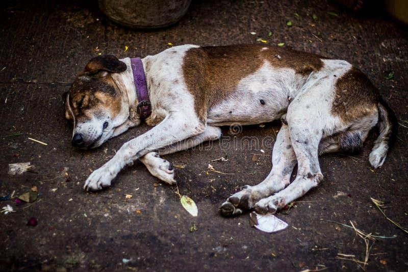在印度塔米尔纳杜钦奈主要市场/集市上睡觉的街头狗 流浪狗在街上睡觉 免版税库存照片