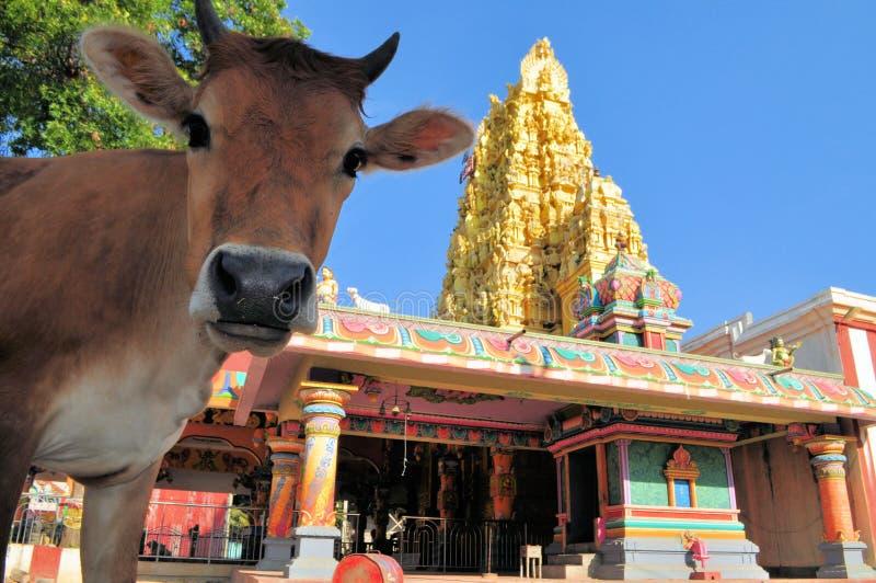 在印度寺庙,斯里兰卡前面的圣牛 库存图片