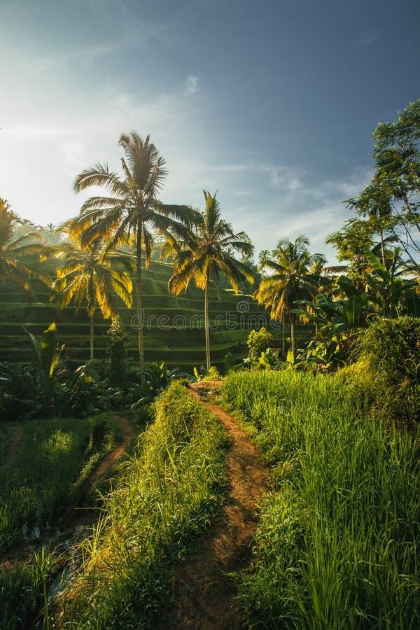 在印度尼西亚米领域中的道路 免版税库存图片