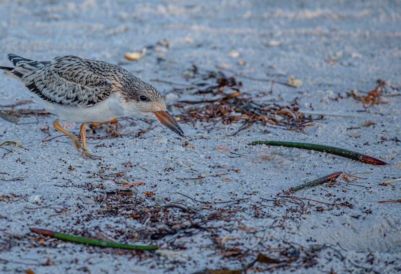 在印度岩石海滩,佛罗里达的漏杓小鸡 免版税库存照片