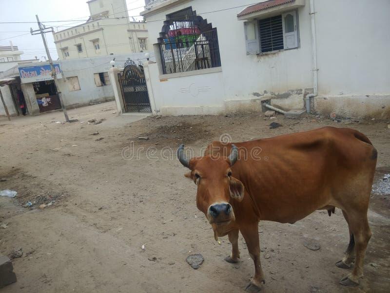 在印度街道的母牛 库存照片