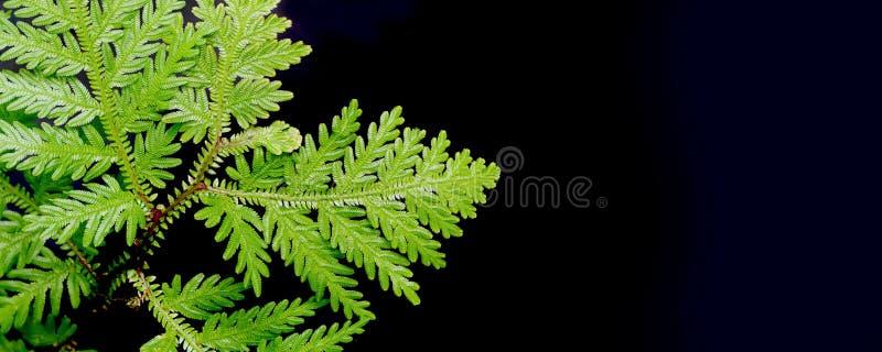 在卷柏蕨的罕见的类型的特写镜头 免版税库存图片