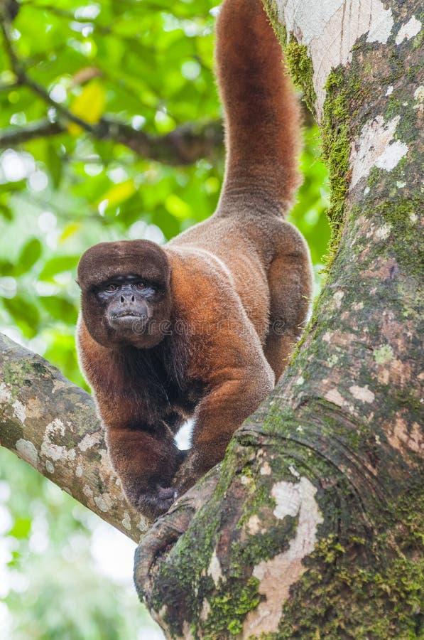 在厄瓜多尔人亚马逊,阿齐多纳的羊毛内衣的猴子 图库摄影