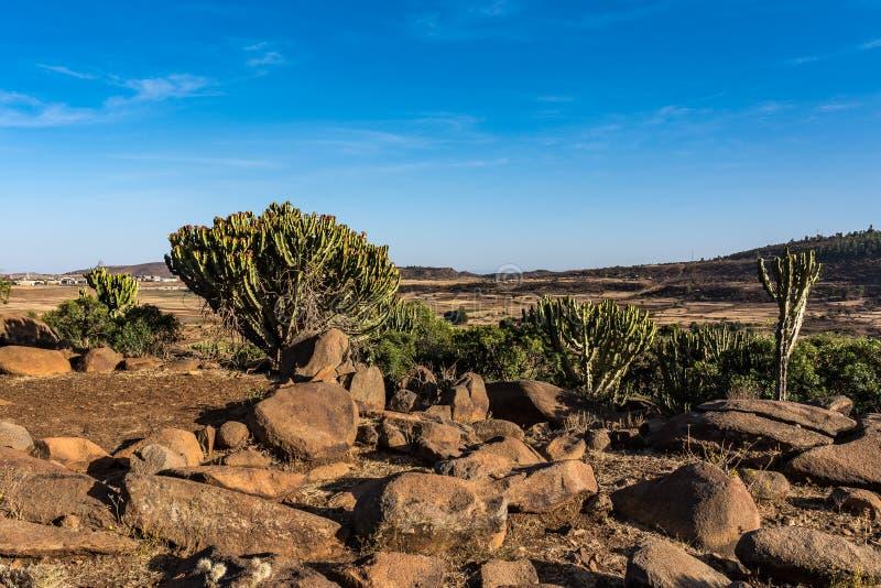 在历史城市阿克苏姆-埃塞俄比亚附近的大烛台树 免版税库存图片