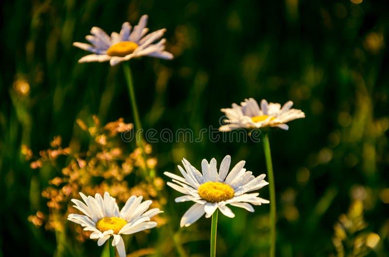 在厚实的早晨雾的花 用早晨露水盖的雏菊 免版税库存图片