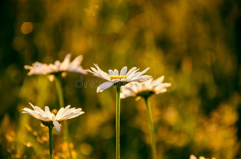 在厚实的早晨雾的花 用早晨露水盖的雏菊 图库摄影