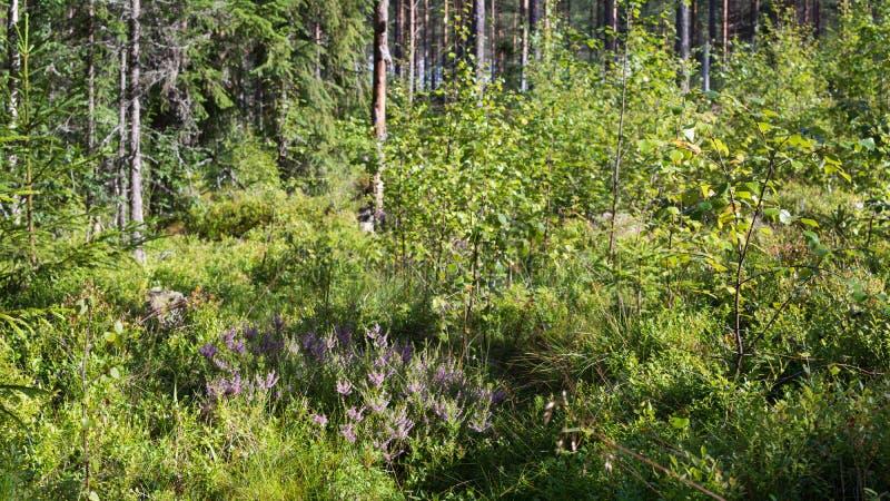 在厚实的森林地板上的石南花 图库摄影