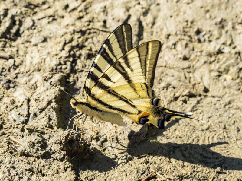 在厚实的泥的缺乏swallowtail蝴蝶 库存图片