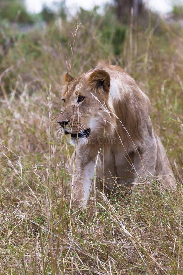 在厚实的草的幼小狮子 mara马塞语 免版税库存照片