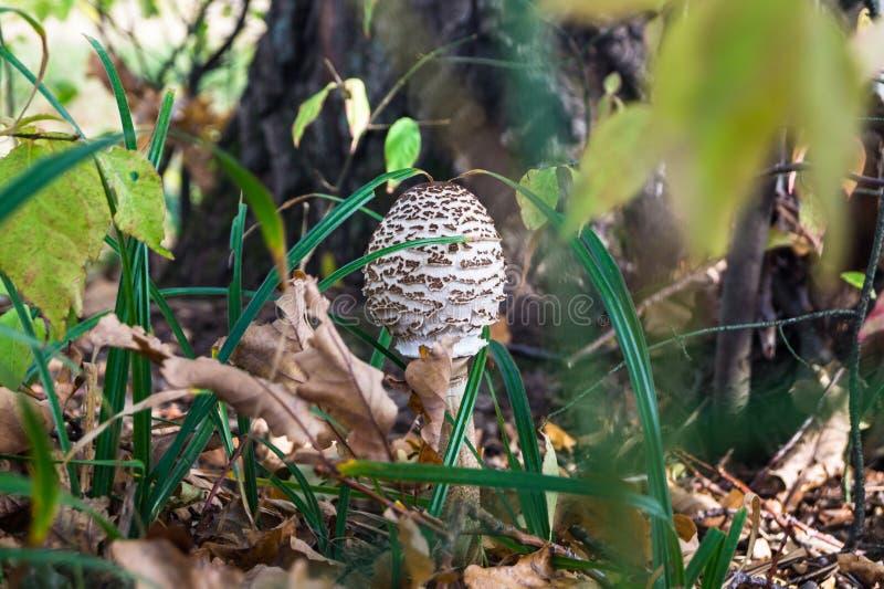在厚实的草的蘑菇伞在一个老橡木树丛边缘 库存图片