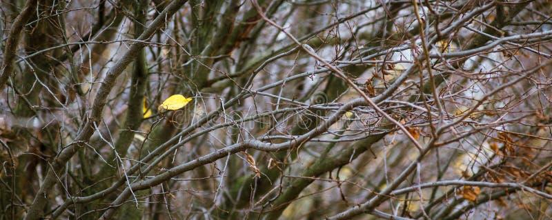 在厚实的branches_中的最后孤立黄色秋天叶子 免版税图库摄影