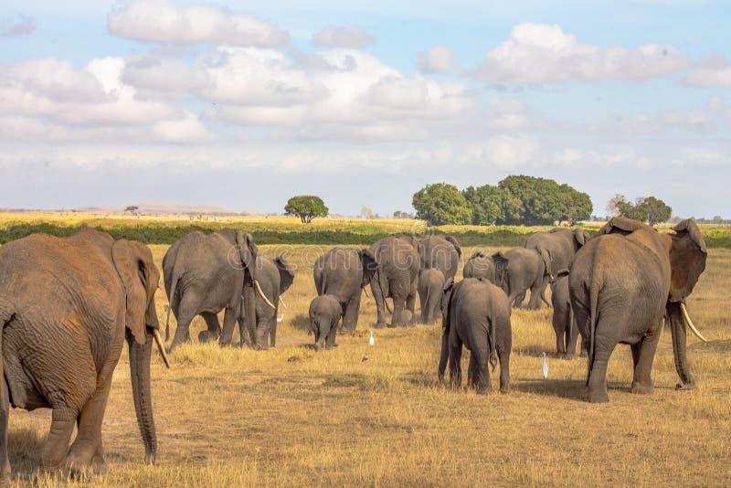 在原野听见的大象 图库摄影