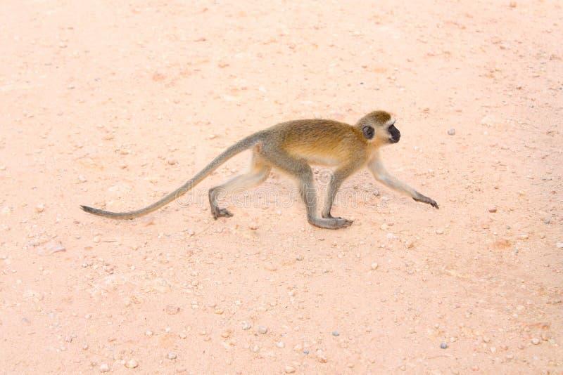 在原野察觉的猴子 免版税库存图片