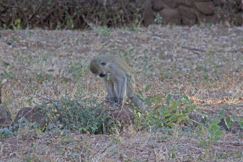 在原野察觉的猴子 免版税图库摄影
