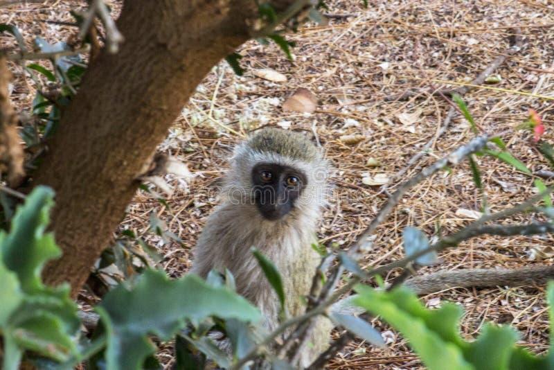 在原野察觉的猴子 图库摄影