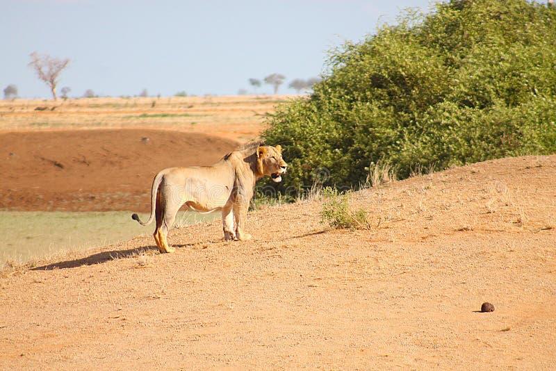 在原野察觉的雌狮 免版税库存照片