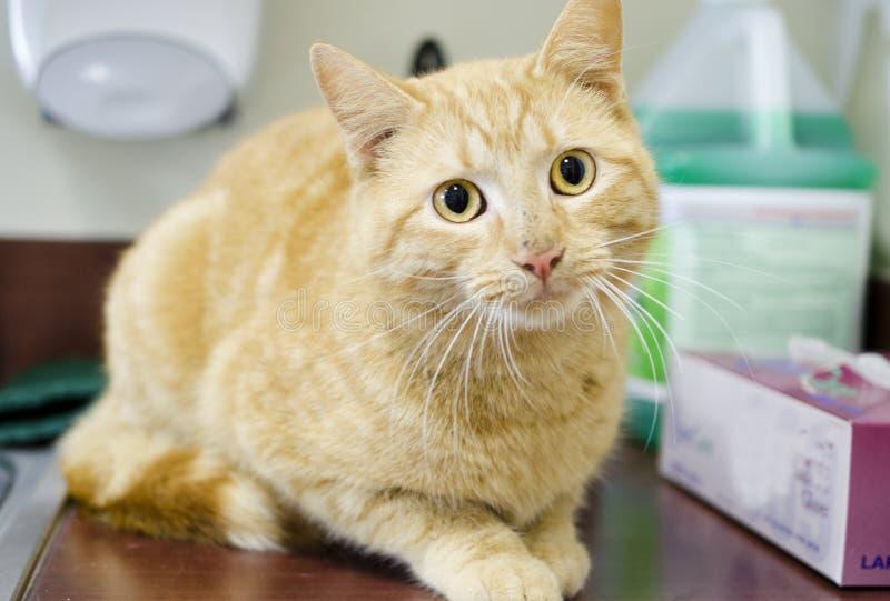 在厨房水槽,动物控制风雨棚的橙色汤姆猫 库存图片