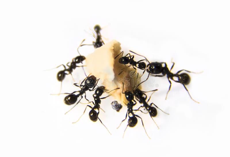 在厨房的蚂蚁 在白色背景的黑蚂蚁 免版税库存照片