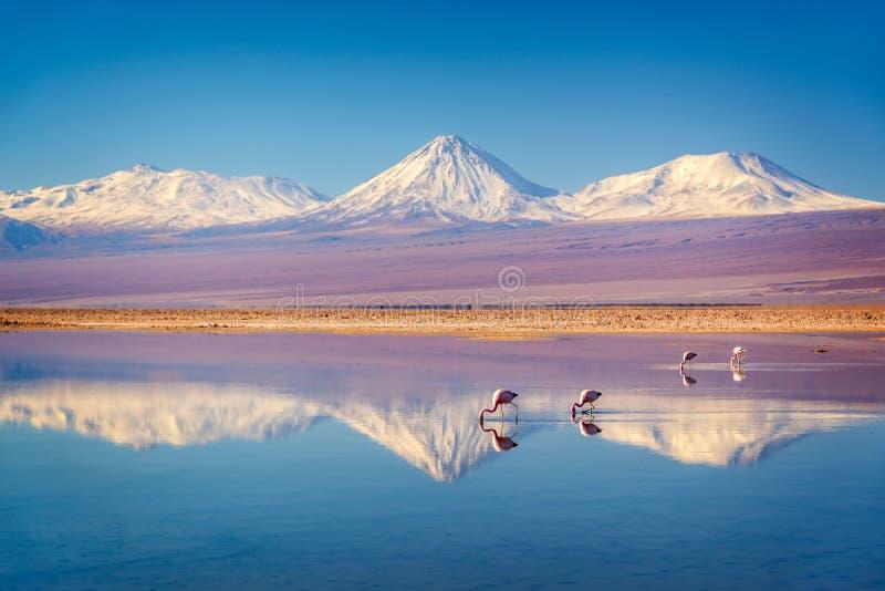 在反射在拉古纳Chaxa,阿塔卡马高原撒拉族智利wate的安地斯montains的斯诺伊利坎卡武尔火山火山有安地斯山的火鸟的 免版税图库摄影