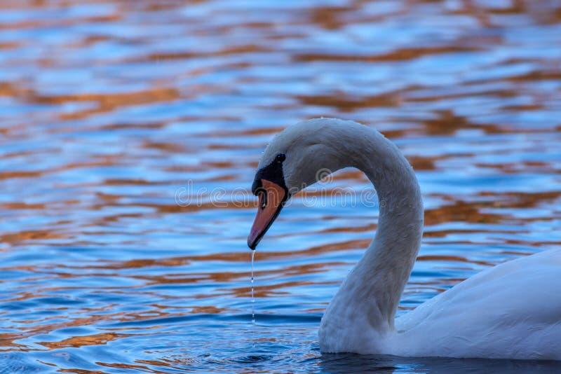 在反射性水的天鹅在秋天 库存图片