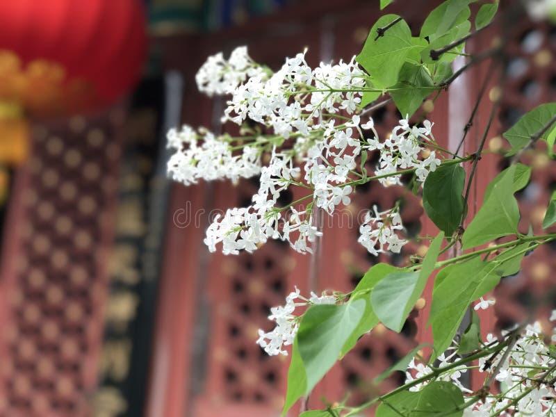 在古庙的古老丁香在北京 库存照片
