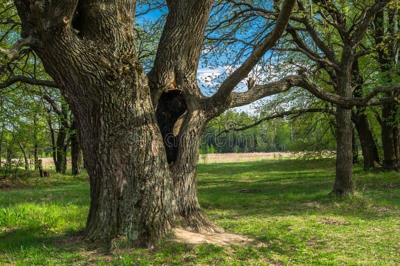 在古老橡树的树干的深凹陷在早期的春天 免版税库存照片