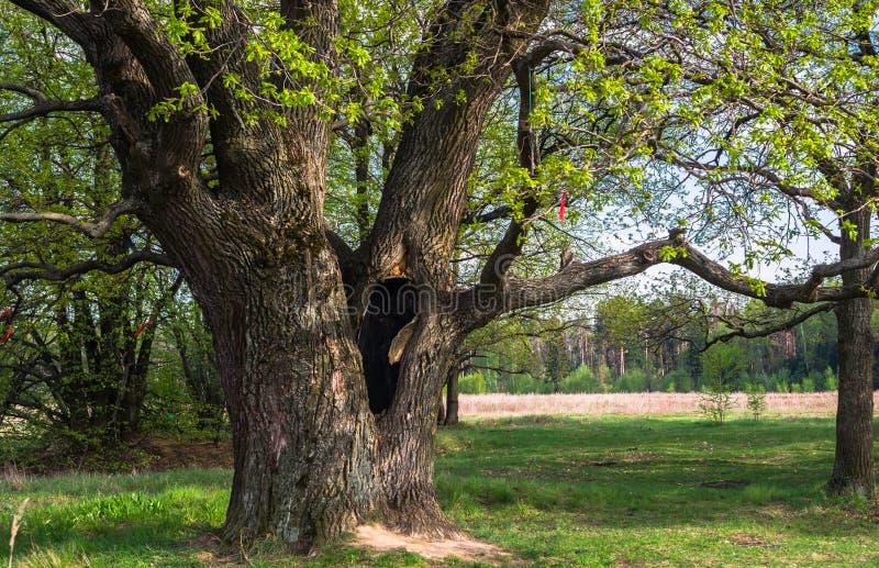 在古老橡树的树干的深凹陷在早期的春天 库存图片