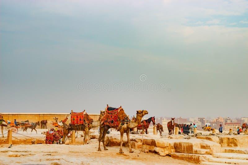 在古老金字塔附近的骆驼在开罗,埃及 图库摄影