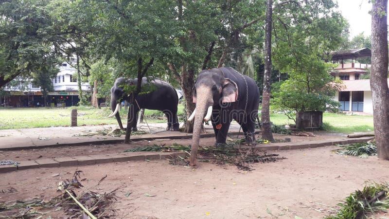 在古鲁瓦约奥尔寺庙喀拉拉的大象 库存照片