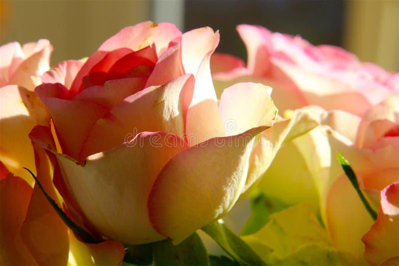 在可爱的颜色的玫瑰 图库摄影
