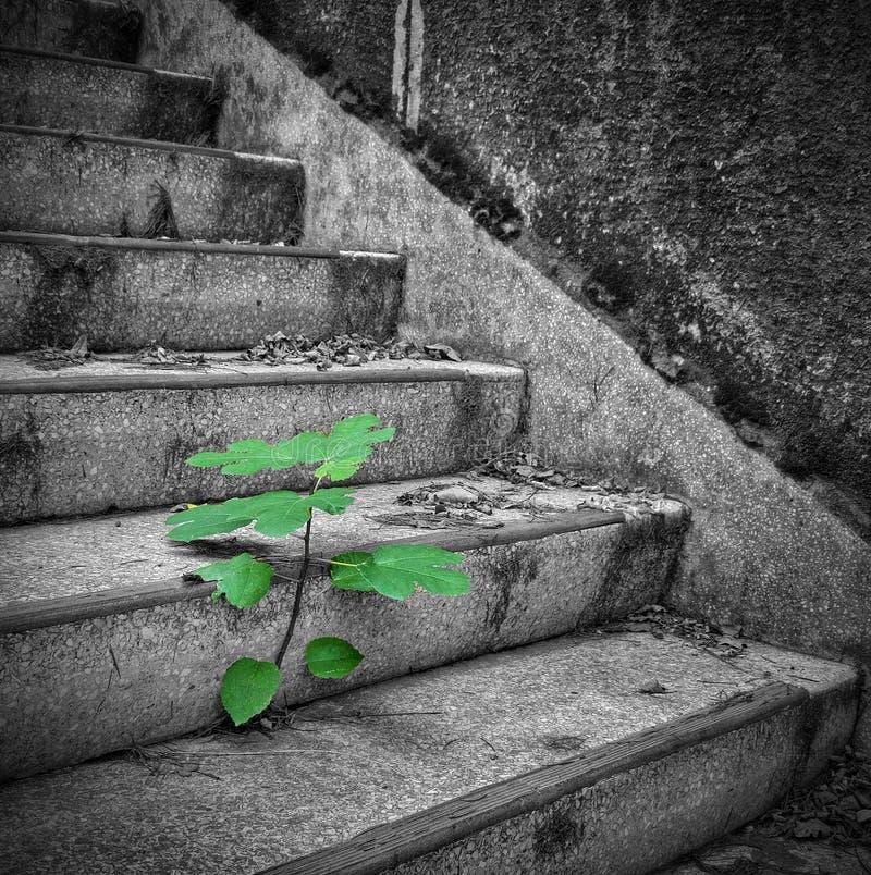 在台阶的无花果树 图库摄影