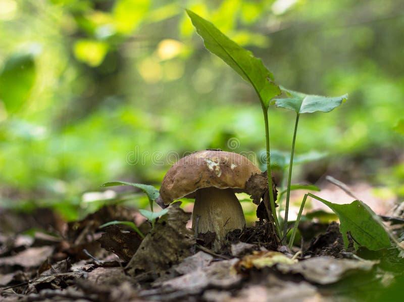 在叶子下的蘑菇 免版税库存图片