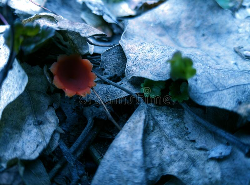 在叶子下的非常的美象花的蘑菇 库存照片