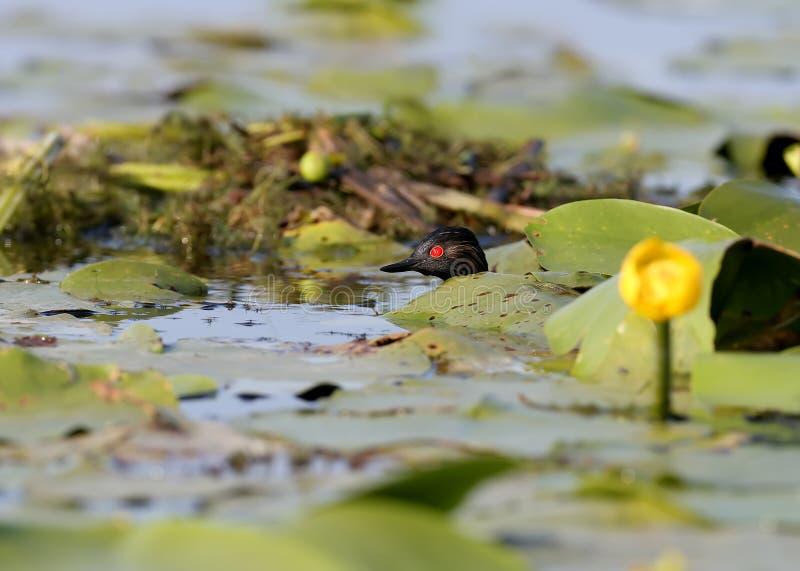 在叶子下的黑收缩的格里布皮 图库摄影