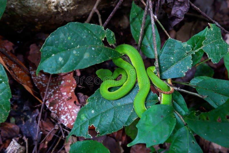 在叶子中掩藏的绿色坑蛇蝎亚洲坑蛇蝎 库存图片