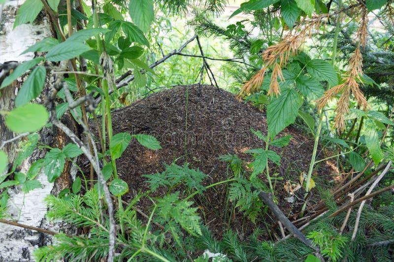 在叶子中被紧贴的大蚂蚁小山在夏天森林里 免版税库存照片
