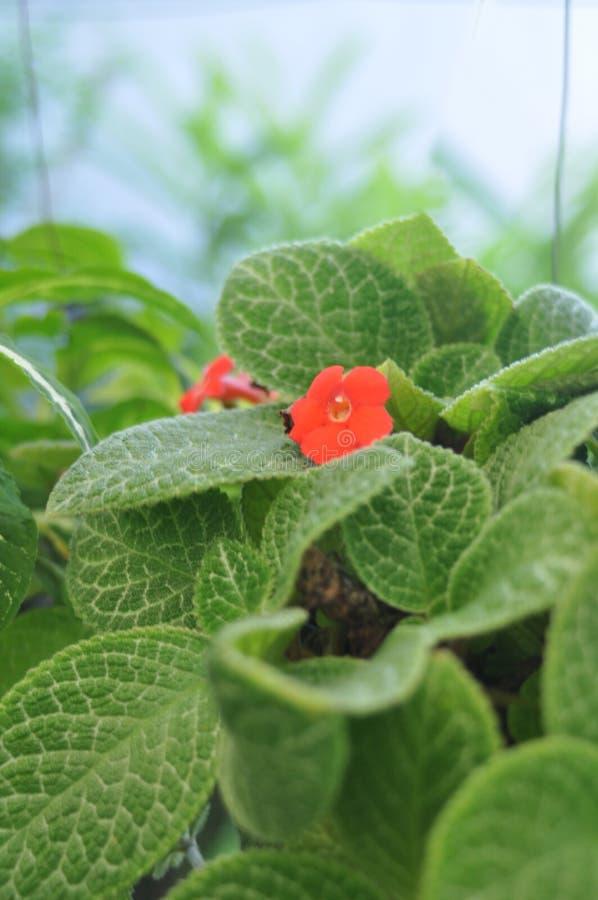 在叶子中间的红色花 免版税库存照片