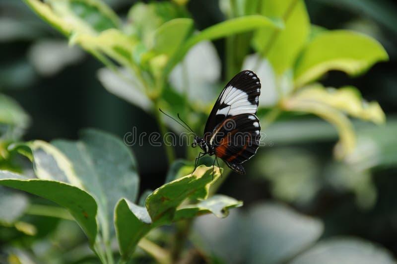 在叶子保持平衡的蝴蝶 免版税库存图片