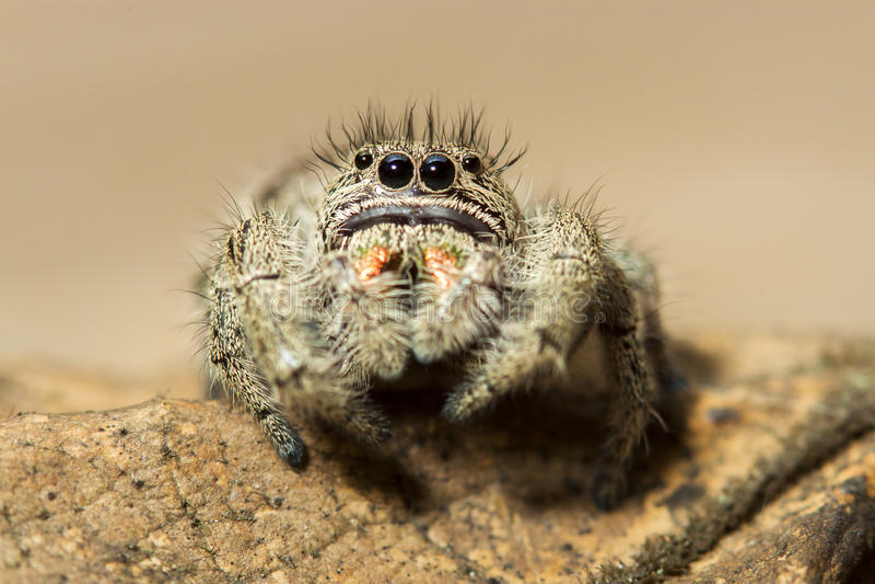 在叶子宏指令画象的布朗跳跃的蜘蛛 库存图片