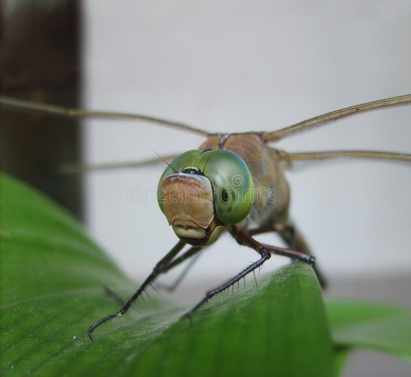 在叶子极端关闭的蜻蜓 免版税库存图片