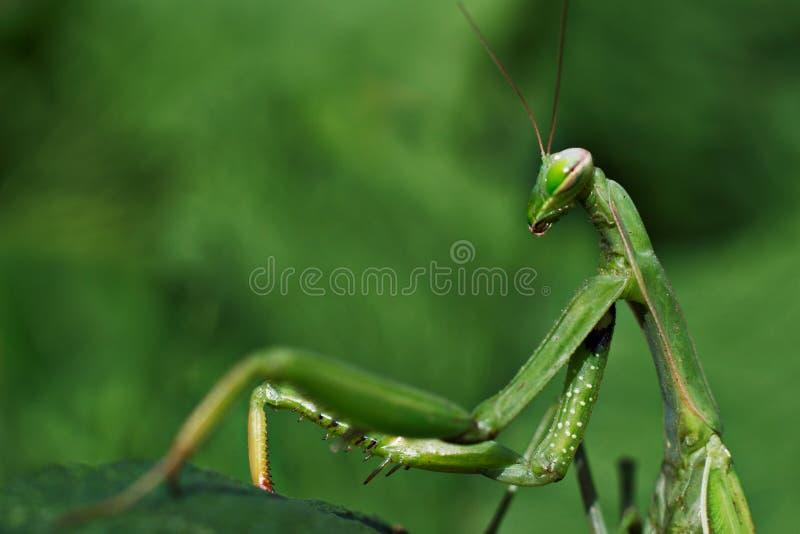 在叶子特写镜头宏指令的螳螂绿色 免版税库存照片