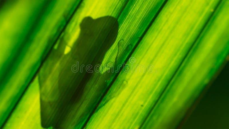 在叶子由后照的弗莱施曼的玻璃青蛙Hyalinobatrachium fleischmanni 免版税库存图片