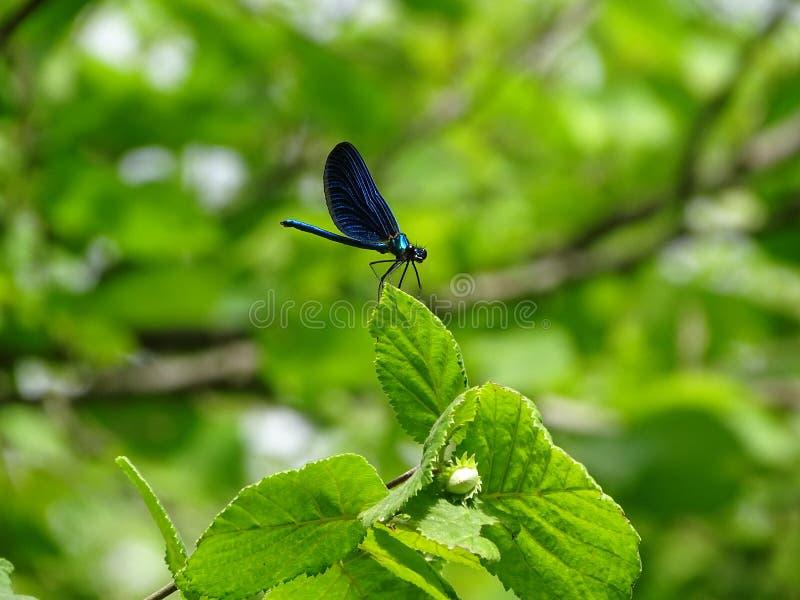 在叶子画的蓝色蜻蜓 库存图片